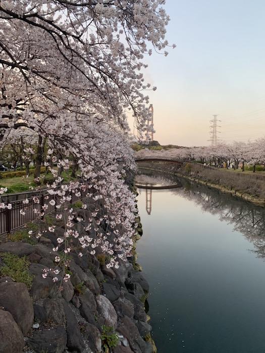 大分市の桜 お花見 大分の工務店 坂井建設採用情報ブログ